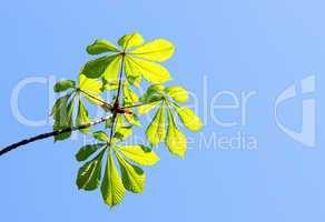 Kastanienblätter im Sonnenlicht