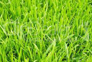 fußball rasen nahaufnahme - soccer grass