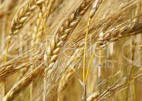 Reife Kornähren - Cereal Grains
