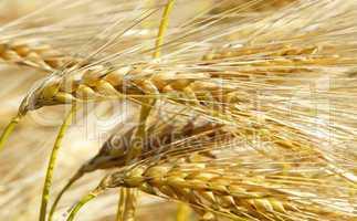 Kornähren Nahaufnahme - Cereal Grains close-up