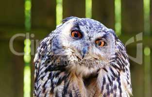 Uhu Nahaufnahme - Eagle-owl