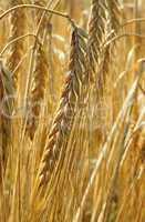 Erntezeit Getreide - Cereal Grain Harvest