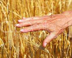 Erntezeit - Cereal Grain Harvest