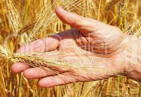 Cereal Grain Harvest - Getreide Ernte