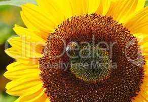 Sonnenblume mit Biene - Sunflower