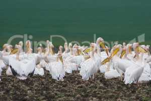 Pelican colony