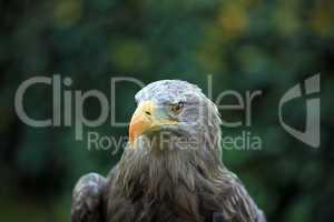 Adler - Greifvogel - Eagle - Raptor