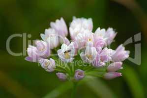 Kanten-Lauch (Allium angulosum)