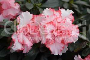 Rhododendron, Azalee