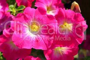 Pinkfarbene Malvenblüten
