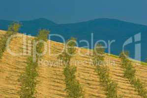 Olivenbäume - Olive trees