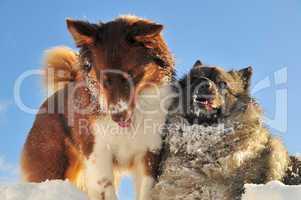Spielende Hunde toben im Schnee