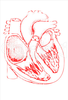 Das menschliche Herz im Schnitt