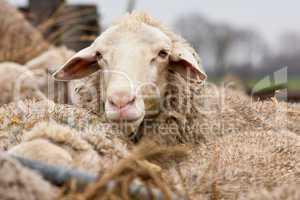 Schafe, sheep