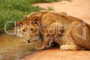 Löwe trinkt an Wasserstelle