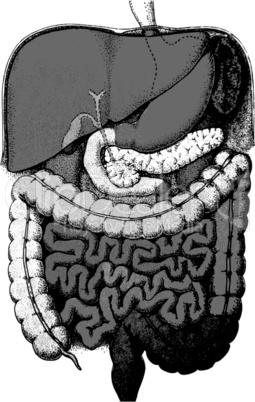 Verdauungsapparat/ digestive System