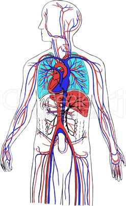 Blutkreislauf/ blood circulation