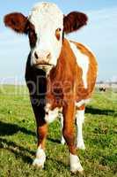 Rinder auf der Weide 726
