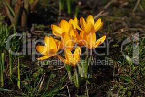 Krokus-crocus albiflorus orange