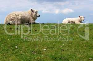 Schafe am Deich / sheep on dike