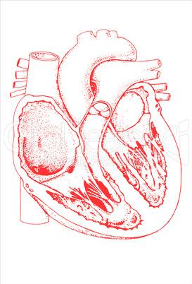 Schnittbild menschliches Herz