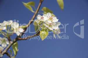 Blüten der Zierkirsche