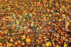 Herbstlaub 393