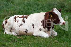 Kuh auf der Weide 815