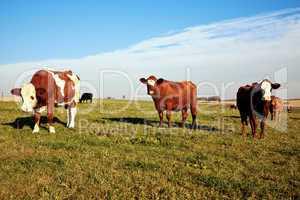 Rinder auf der Weide 725