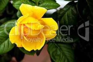 Gelbe Rose mit Blattwerk 752