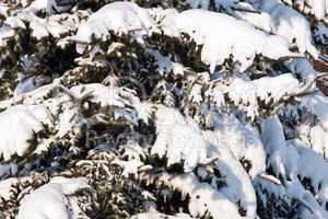 Schnee auf dem Nadelbaum 278