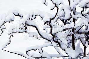 Eingeschneite Zweige 213
