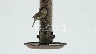 House Sparrow at bird feeder white background HD 8105