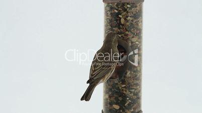 House Sparrow on bird feeder close HD 8106