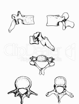 typische Formen der menschlichen Wirbel