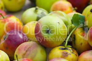 Cropping of apples