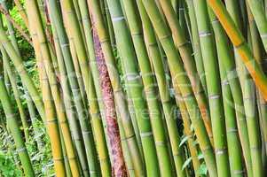 Bambus - bamboo 43