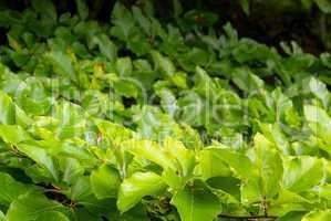 Buche Laub - beech foliage 06
