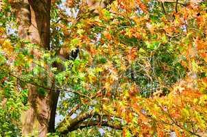 Eichenlaub - Oak leaf cluster 11