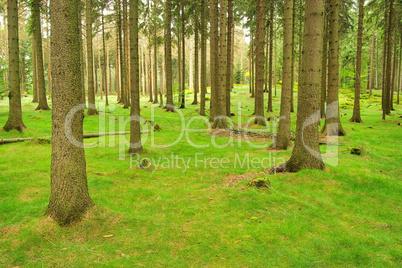 Fichtenwald - spruce forest 04