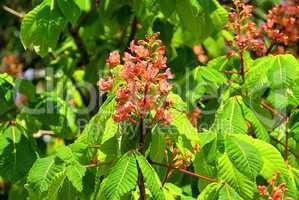 Kastanienblüte - Horse chestnut flower 05