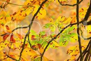Kastanienlaub - buckeye leaf cluster 01