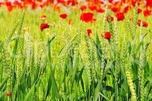 Klatschmohn im Feld - corn poppy in field 04