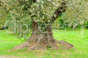 Olivenbaum Stamm - olive tree trunk 14
