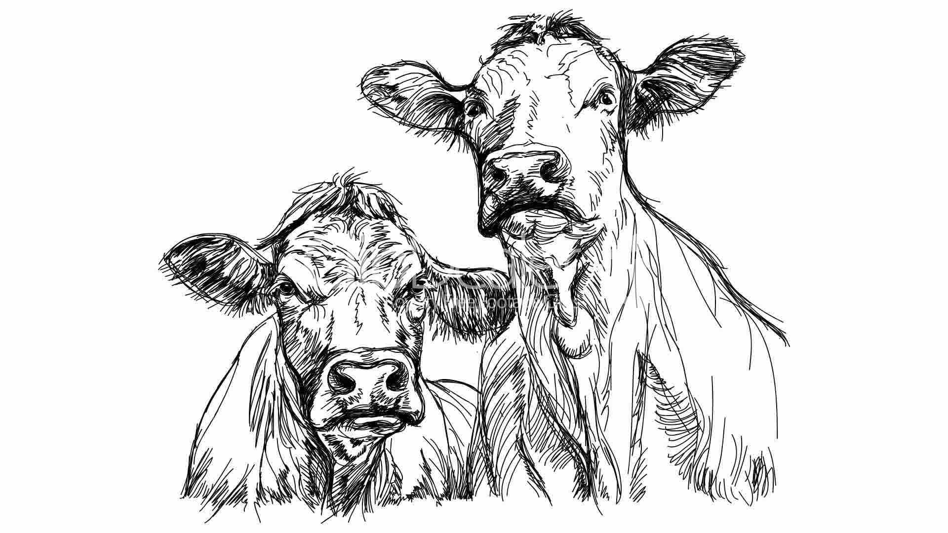 two cows black and white sketch royalty free video and stock