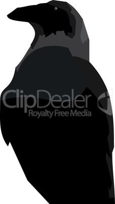 Realistic illustraton of black raven