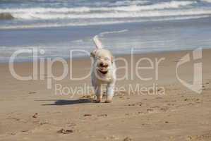 Weisser Hund am Strand