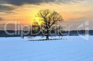 Eiche im winterlichen Sonnenuntergang
