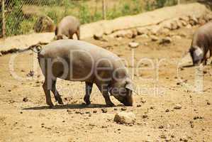 Iberisches Schwein - Black Iberian pig 03