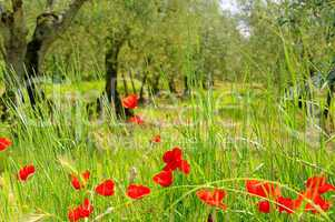 Klatschmohn Olivenhain - corn poppy in olive grove 03